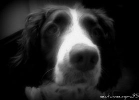 Missie the Spaniel by sectumsempra95