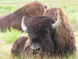 Bison - Adults 3 by cozzybob
