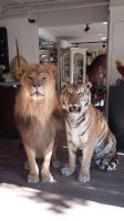 Taxidermy lion and tiger by Museumwinkel