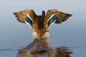 Duck Landing 1 by bovey-photo