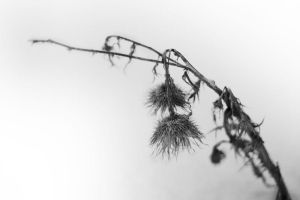 Winter Thistle by JJTM