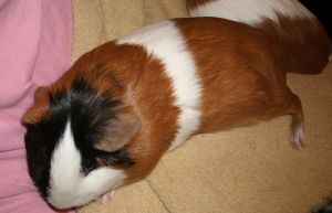 It's Tough Being a Guinea Pig by MadForHatters