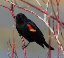 Red-Winged Blackbird by lenslady