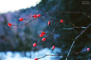 Cold Rosa Canina by LucreciaMortishia