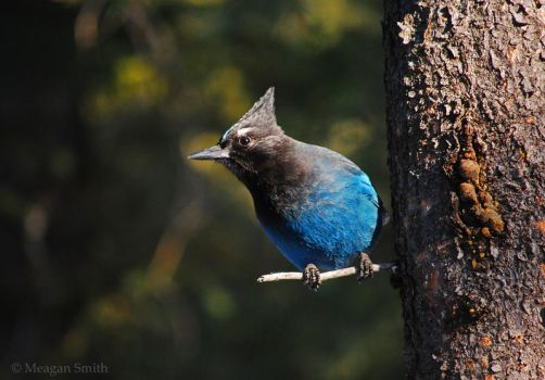 Steller's Jay by Pagan-Inspiration