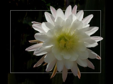 Cactus Flower by rosiescape