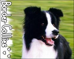 Border Collie by Strikker