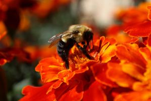 A Bee by BTrerice