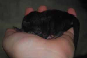 Newborn kitten in hand by bananarama96