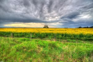 Canola Fields by DanielleMiner