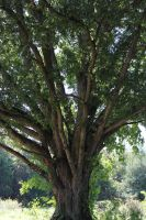 The Olde Tree by MrRowboat