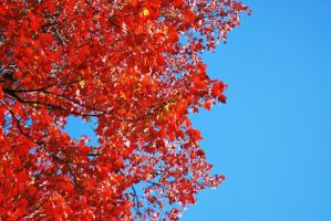 red leaves by michiesue