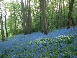 Even more blue bells by Fraped
