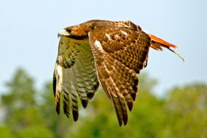 Flight of Red Tailed Hawk by Kippenwolf