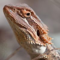 Bearded Dragon by 88-Lawstock