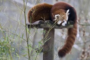 5076 - Red Panda by Jay-Co