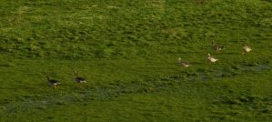 Three pair of geese in a soggy meadow by steppeland