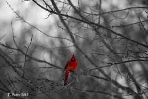 Color Splash Cardinal by thriftyredhead