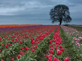 The Tulip Field by CezarMart