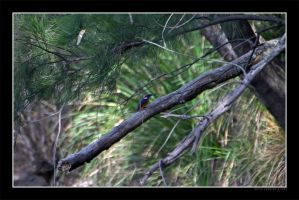 Kingfisher on a branch by Keith-Killer