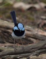 Splendid Fairy Wren by bredli84