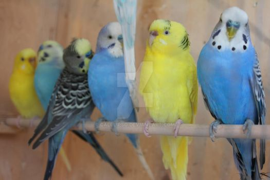 Budgerigars Archi,Amely,Theodor,Napoleon,Budgie,Li by calllipso