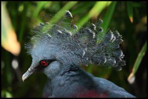Victoria Crowned Pigeon by ryangallagherart
