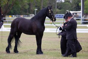 STOCK - Friesian Show 2012-61 by fillyrox