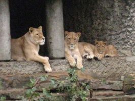Three Generations of African Lions by Mouselemur