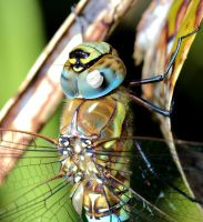 Dragonfly closeup by Vitaloverdose