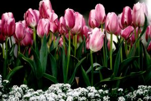 Tulips by Art-Photo