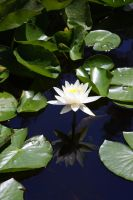 Another Water Lily by XxQuothTheRavenxX