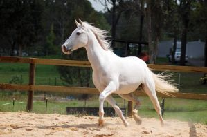 Arab high trot in breeze by Chunga-Stock