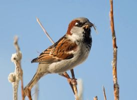 Passer domesticus IV by nordfold