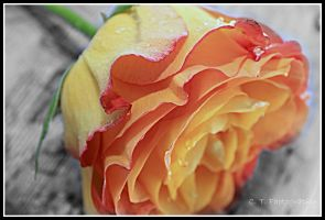 Life is a Rose.... by minilopbunnies