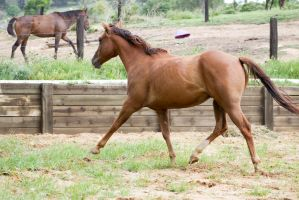 Km QH trot extended side view by Chunga-Stock
