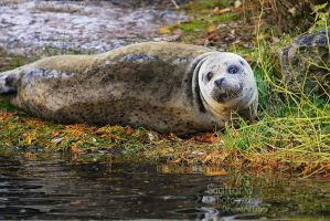 Autumn Seal by Sagittor