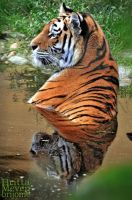 Tiger in the water by brijome