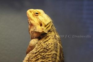 Pogona vitticeps by jdrainville
