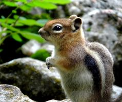 Ground Squirrel by abstractcamera