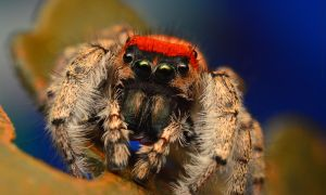 Phidippus Whitmani male by Enkased