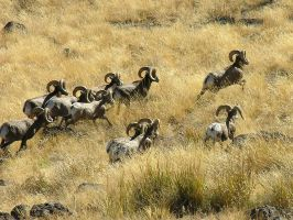 Band of Bighorn Rams 3241 by photoguy17
