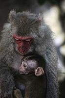 Macaque Mother and Baby by stinebamse