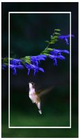 Hummer on the bluebells... by LadyAliceofOz