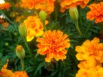 Marigolds by Mamas-Art