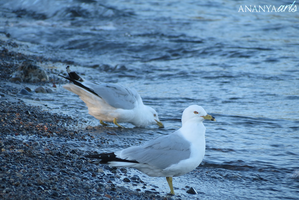 Seagull by AnanyaArts