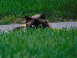 Cat in the Grass002 by amethystmstock