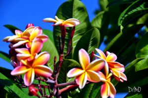 Colourful Plumerias by AllAboutDianne