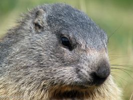 Thoughtful marmot by Momotte2