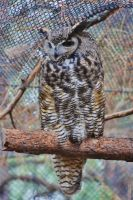 Great Horned Owl II by ArtistStock